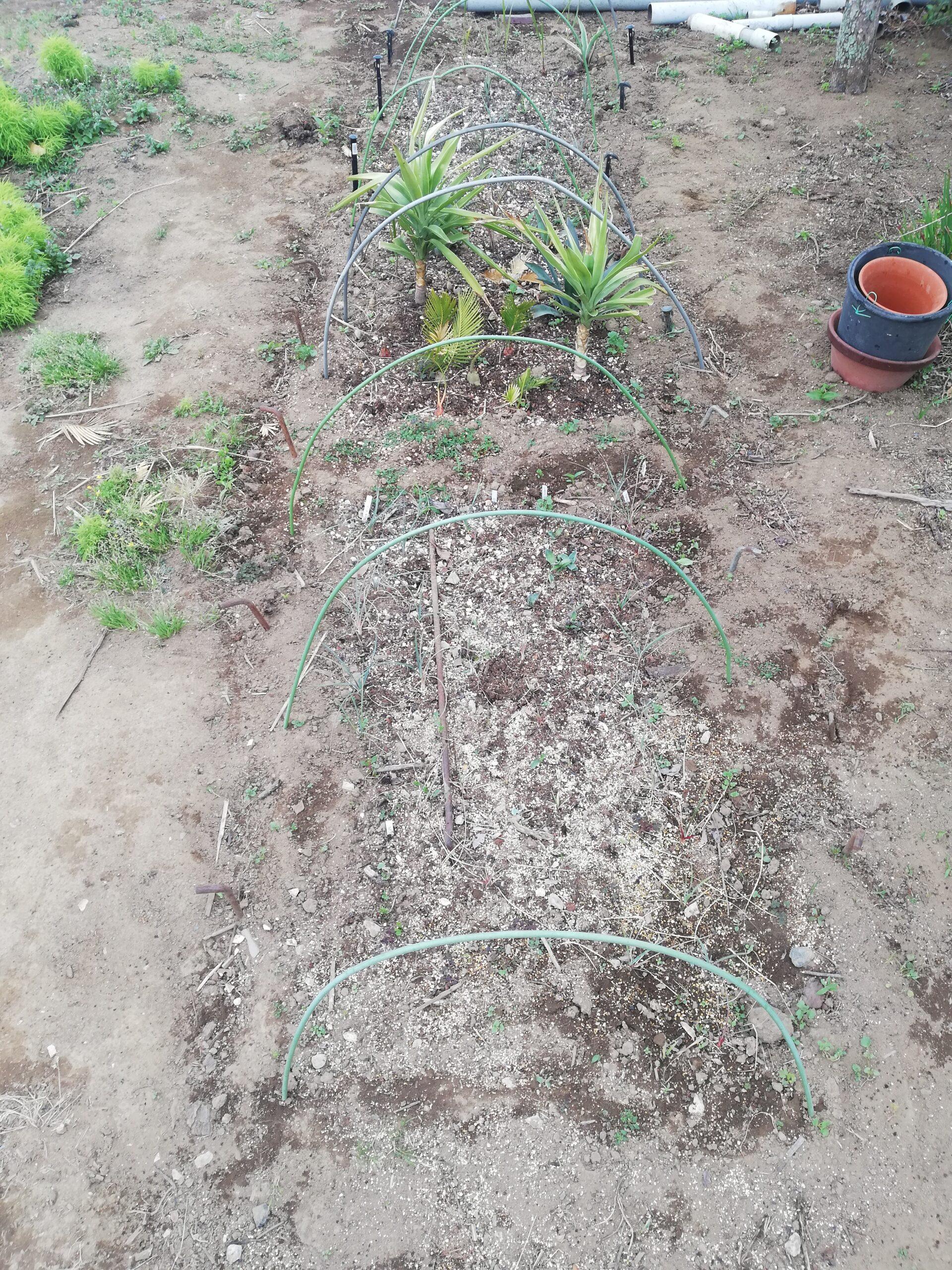 ユッカロストラータ トンプソニアーナ栽培記録